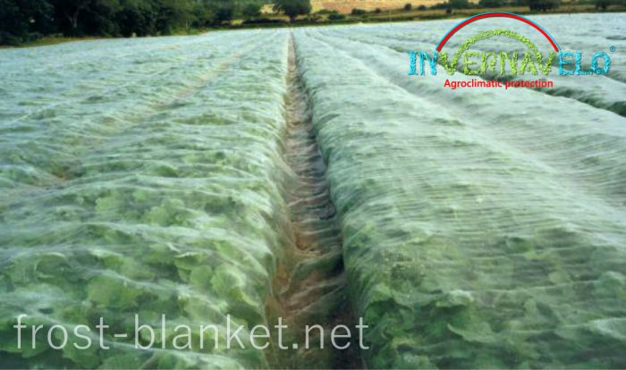 Chard crop cultivation protected with invernavelo frost blanket