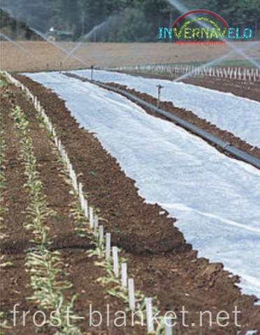 automatic irrigation on crop field with frost blanket