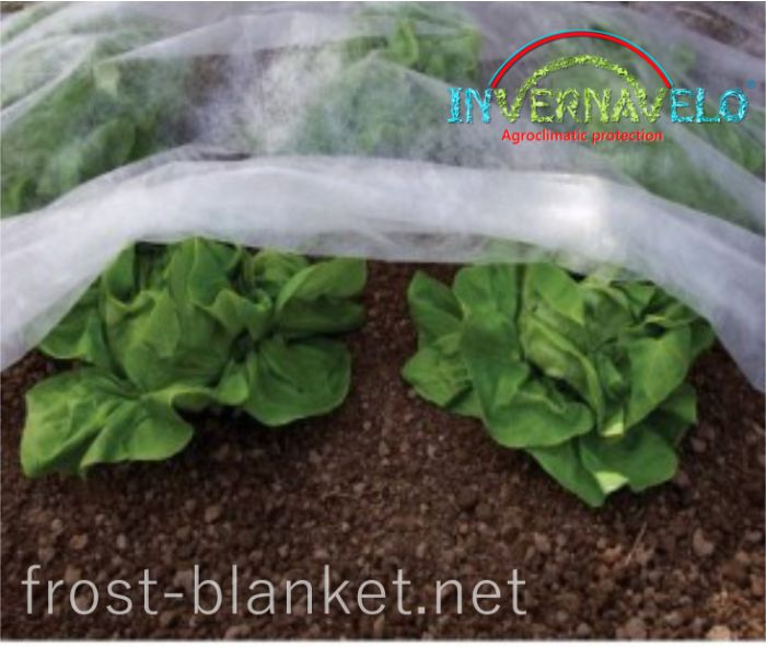 Frost blanket over lettuce to protect against insects birds and frost