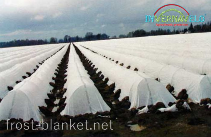 Full vegetable crop fieldprotected with heavy frost blanket against freeze