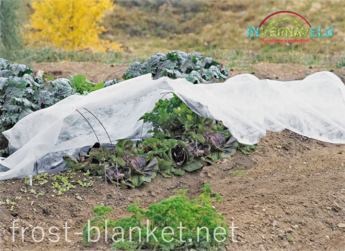 Invernavelo frost blanket protecting lettuce crop