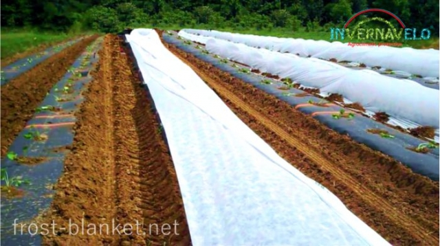 Newly planted radishes saplings with frost blanket protection