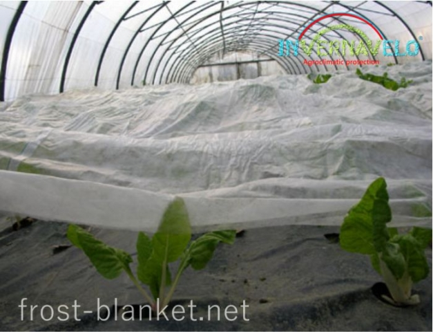 close up of Spinach crop shoots on tunnel with frost blanket protection