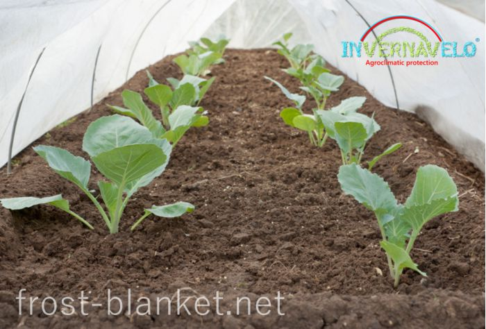Vegetables shoots protected from attack of insects and birds with frost blanket close up
