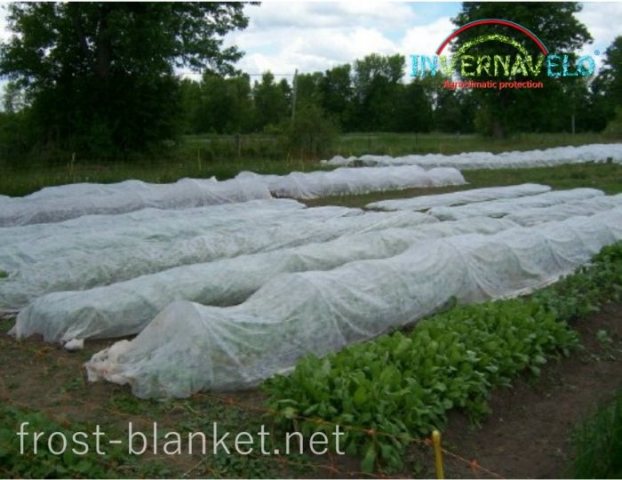 Radishes cultivation protected with Invernavelo frost blanket
